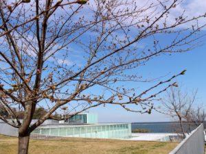 屋上広場の桜