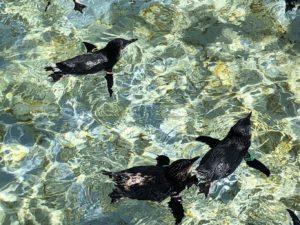 子供のペンギンたち