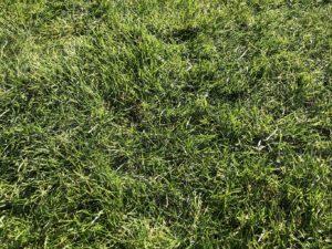 綺麗すぎる芝生