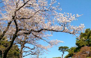 皇居乾通り桜